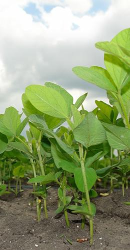 soybeans in a field